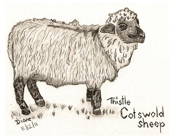 Cotswold Sheep