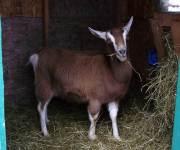 Spirit pregnant doe